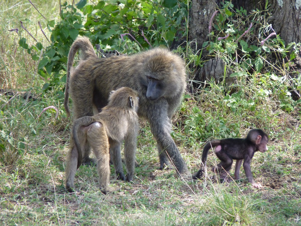 Baboons in the Serengeti