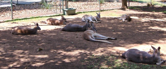 Kangaroos at Australia Zoo