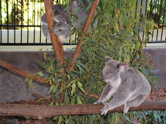 Koalas at Australia Zoo