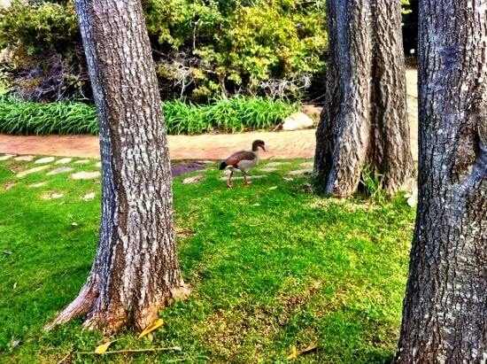 The Lonely Duck at Kirstenbosch Gardens
