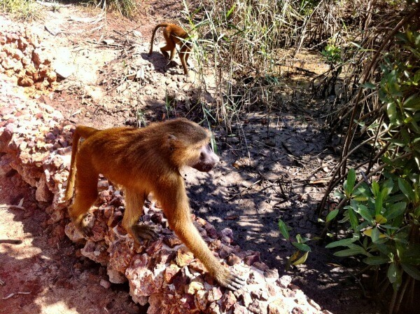 Baboons in Gambia: The Movie