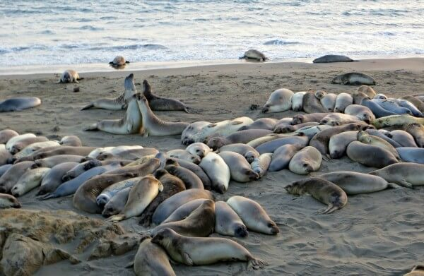 Elephant seal beach