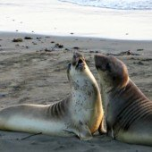 Elephant Seal Beach at Big Sur, California