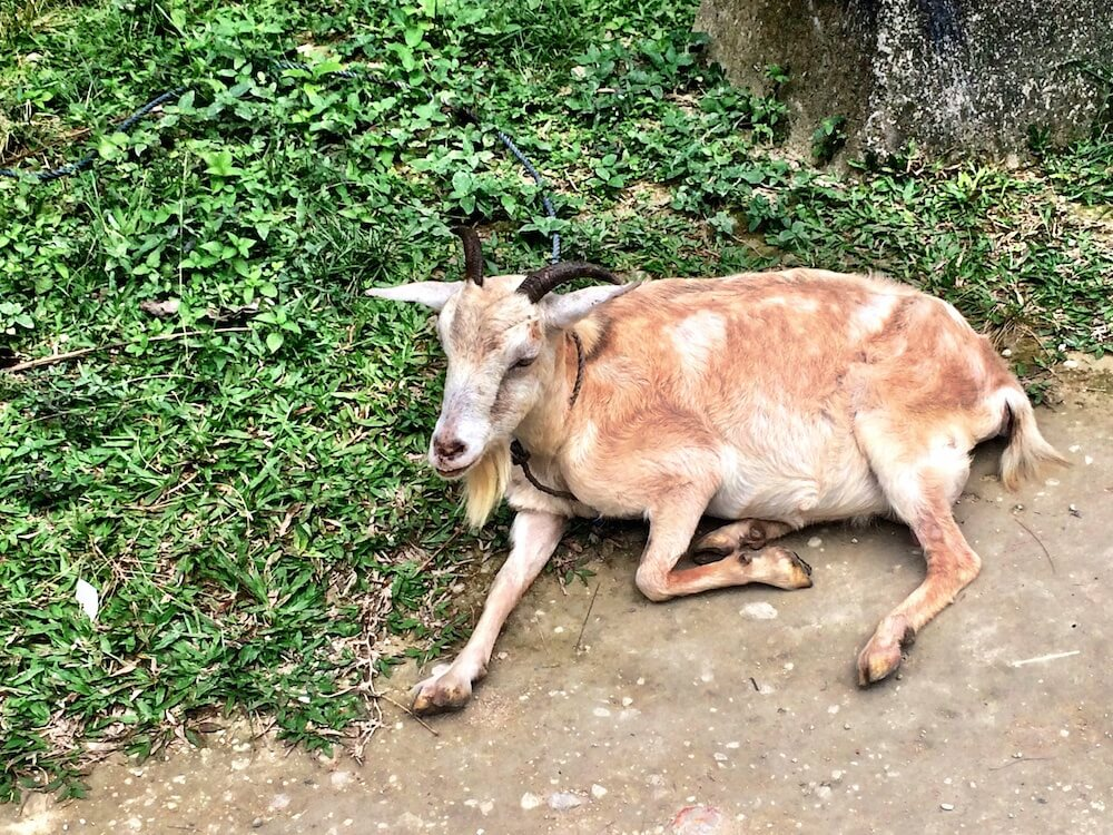Sleepy goat in Cebu