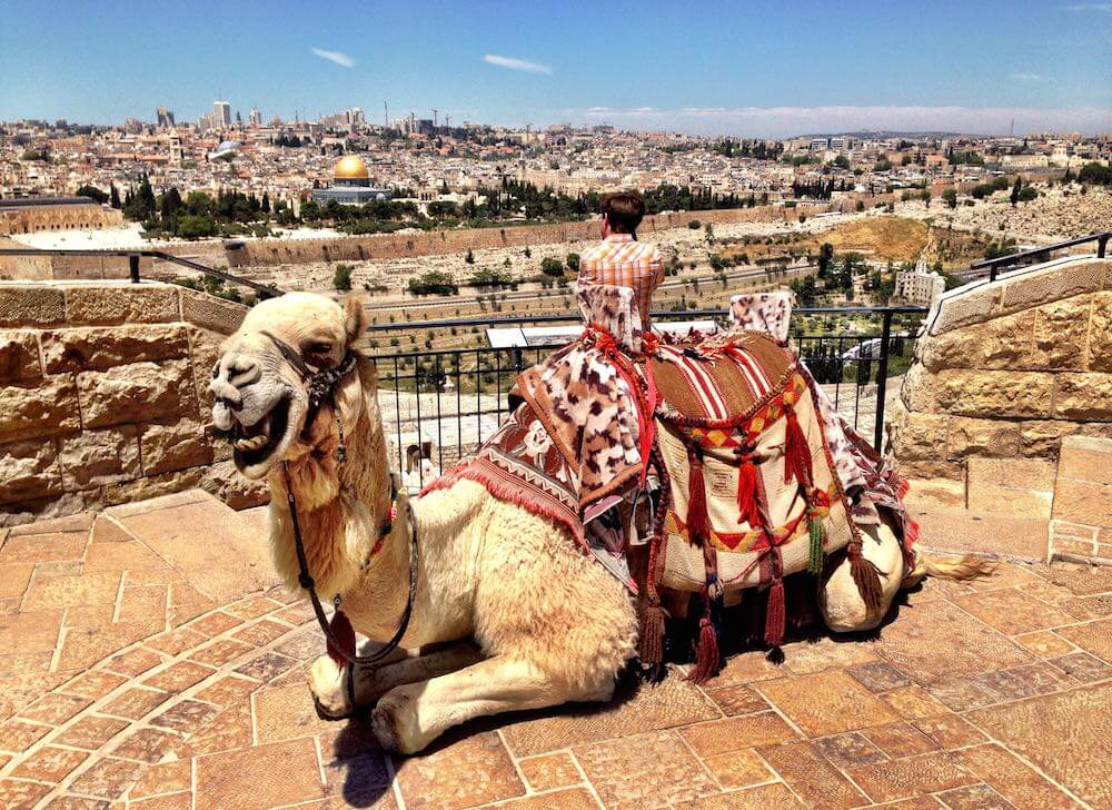 Camel up at the mount of olives