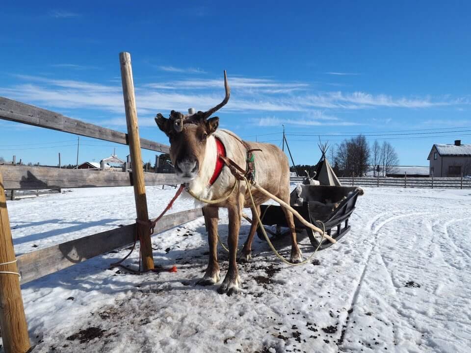 Reindeer in Levi