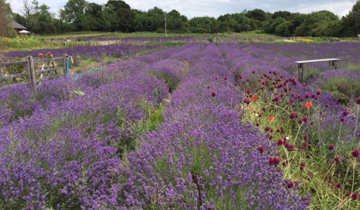 Lavender Farm in the New Forest
